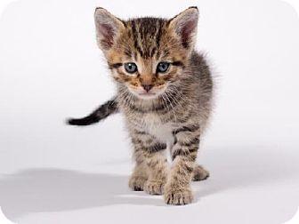 Domestic Shorthair Kitten for adoption in Kingston, Ontario - Gus