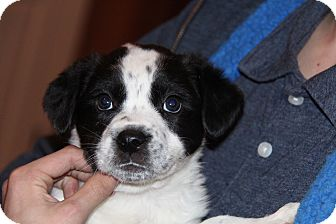 Blue Heeler/Border Collie Mix Puppy for adoption in Phoenix, Arizona - Spaghetti