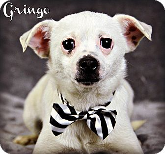 Chihuahua/Jack Russell Terrier Mix Dog for adoption in Jackson, Mississippi - Gringo