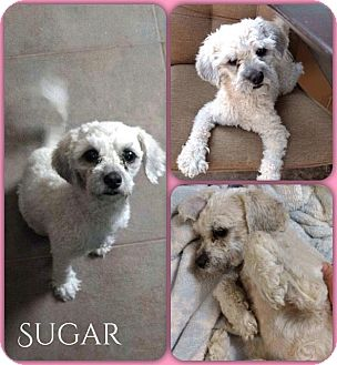 Poodle (Miniature)/Shih Tzu Mix Dog for adoption in DeForest, Wisconsin - Sugar
