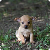 Adopt A Pet :: Tiny - South Dennis, MA