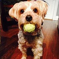 Yorkie, Yorkshire Terrier/Poodle (Miniature) Mix Dog for adoption in Halethorpe, Maryland - Izzie