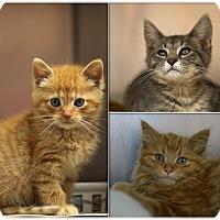 Adopt A Pet :: Kittens & More Kittens! - Detroit, MI