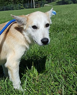 Shepherd (Unknown Type) Mix Puppy for adoption in Hawk Point, Missouri - Foxy Ready For Adoption!!!