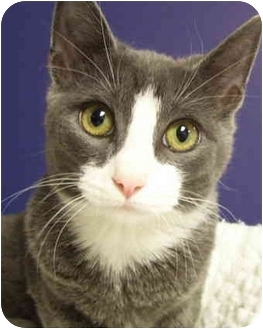 Domestic Shorthair Kitten for adoption in Bloomingdale, New Jersey - Liz