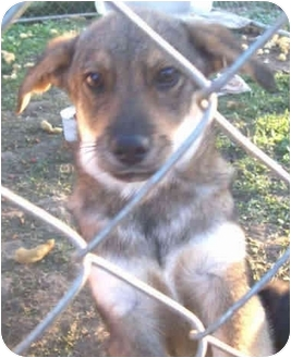 German Shepherd Dog Mix Puppy for adoption in Arlington, Virginia - Buster
