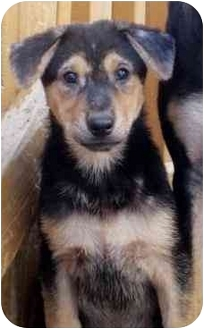 Sheltie, Shetland Sheepdog/German Shepherd Dog Mix Puppy for adoption in Chicago, Illinois - Ernie*ADOPTED!*