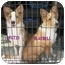 Photo 1 - Sheltie, Shetland Sheepdog Puppy for adoption in Provo, Utah - Brutis