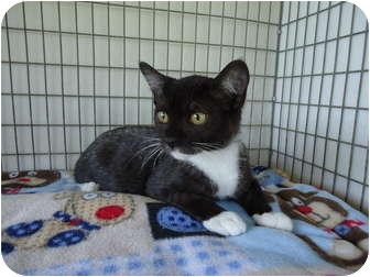 Domestic Shorthair Cat for adoption in Turlock, California - 0825-1103