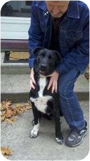 Labrador Retriever/Border Collie Mix Dog for adoption in Stockton, Missouri - Bud
