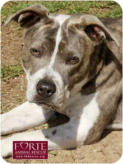 American Staffordshire Terrier/Catahoula Leopard Dog Mix Dog for adoption in Marina del Rey, California - Lilly