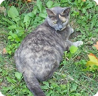 Domestic Shorthair Cat for adoption in Troy, Ohio - Zena
