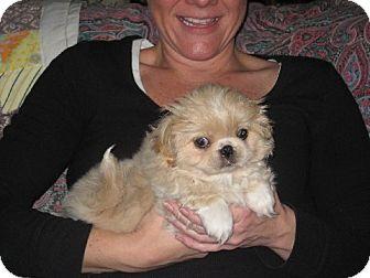 Pekingese Puppy for adoption in Allentown, Pennsylvania - Ming