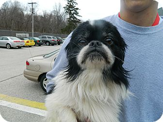 Japanese Chin Mix Dog for adoption in West Deptford, New Jersey - Prince