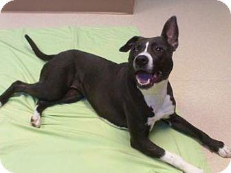 American Pit Bull Terrier Dog for adoption in Staunton, Virginia - Lia