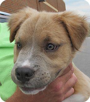 Husky/Golden Retriever Mix Puppy for adoption in Smithfield, North Carolina - Sadie