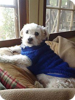 Maltese/Poodle (Miniature) Mix Dog for adoption in Chatsworth, California - PEPTO