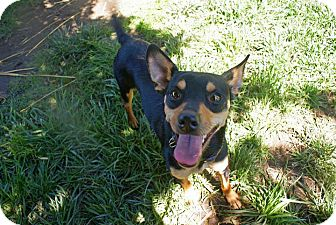 Manchester Terrier Mix Dog for adoption in Yuba City, California - 06/14 Ping