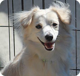 Dachshund/American Eskimo Dog Mix Dog for adoption in Russellville, Kentucky - Casper