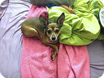 Chihuahua/Miniature Pinscher Mix Dog for adoption in Los Angeles, California - Cupcake - 7 lbs! I love kids!