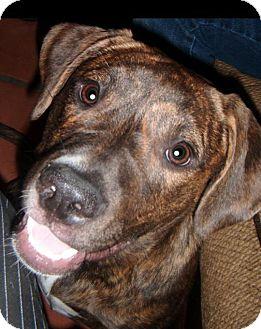 American Staffordshire Terrier/American Bulldog Mix Dog for adoption in Phoenix, Arizona - Latte