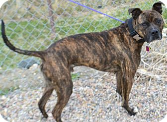 Pit Bull Terrier/Boxer Mix Dog for adoption in Fruit Heights, Utah - Boz