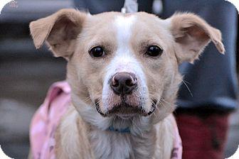 Labrador Retriever/Brittany Mix Dog for adoption in Minneapolis, Minnesota - April