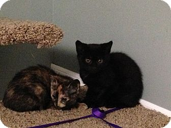Domestic Shorthair Kitten for adoption in Randolph, New Jersey - Spice