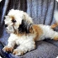 Adopt A Pet :: GONDI - Hollywood, FL