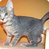 Adopt A Pet :: Graybie - Miami, FL