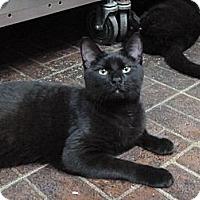 Adopt A Pet :: Black Orchid - St. Petersburg, FL