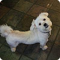 Adopt A Pet :: Bud - Mt Gretna, PA