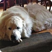 Adopt A Pet :: Bella - Minneapolis, MN