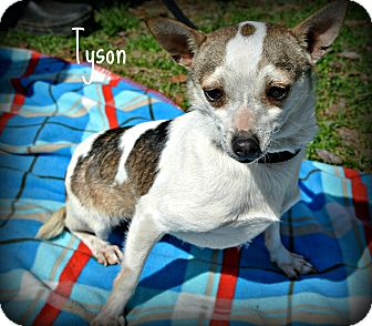 Chihuahua Mix Dog for adoption in Vancleave, Mississippi - Tyson