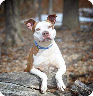 Staffordshire Bull Terrier Mix Dog for adoption in Randolph, New Jersey - Cassidy