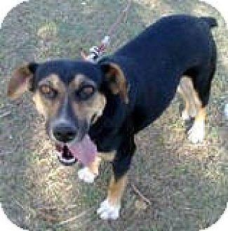 Miniature Pinscher/Manchester Terrier Mix Dog for adoption in Ridgewood, New York - BELLA
