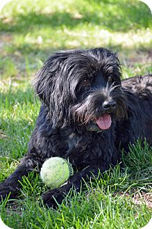 Spaniel (Unknown Type)/Terrier (Unknown Type, Medium) Mix Dog for adoption in Mountain Center, California - Monroe