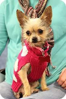 Yorkie, Yorkshire Terrier/Chihuahua Mix Dog for adoption in Fountain Valley, California - Noelle AKA Squeak
