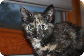 Domestic Shorthair Kitten for adoption in Little Falls, New Jersey - Rhoda (LE)