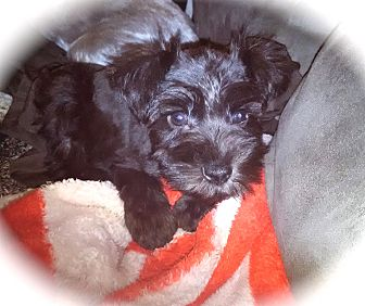 Miniature Schnauzer Puppy for adoption in Winter Haven, Florida - Trace