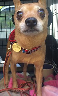 Chihuahua Dog for adoption in Oak Ridge, New Jersey - Gary