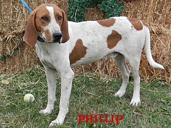 Coonhound Mix Dog for adoption in Lawrenceburg, Tennessee - Phillip