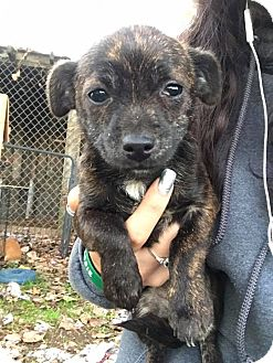 Terrier (Unknown Type, Small)/Dachshund Mix Puppy for adoption in Lodi, California - Morgana
