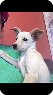 Chihuahua Mix Puppy for adoption in Alta Loma, California - Millie