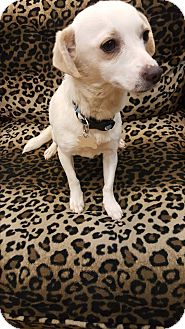 Terrier (Unknown Type, Small)/Chihuahua Mix Dog for adoption in Valencia, California - Darla