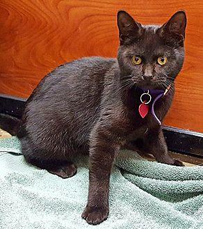 Domestic Mediumhair Kitten for adoption in Youngsville, North Carolina - Nirvana