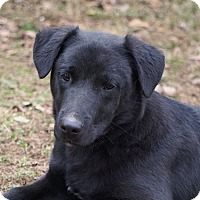 Adopt A Pet :: *Arrow - PENDING - Westport, CT