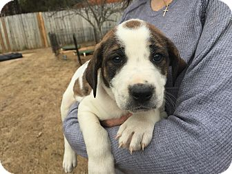 Boxer/Australian Shepherd Mix Puppy for adoption in Acworth, Georgia - Ebony - Magazine Litter