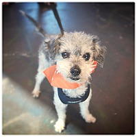 Toy Poodle/Maltese Mix Dog for adoption in Glendale, California - BOBBY