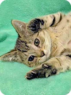 Domestic Shorthair Kitten for adoption in Gahanna, Ohio - ADOPTED!!!   Sheba